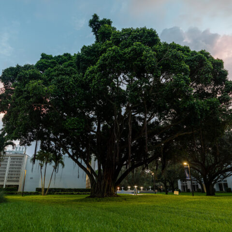 A banyan tree sits on campus in front of the ASSAF building.